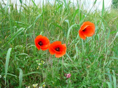 Poppies in a Field - Ken and Pam Linge